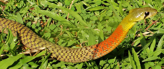 red-necked-keelback