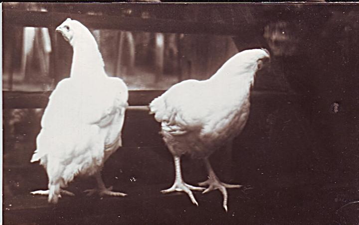 broiler_chickens
