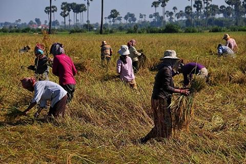 dec_27_0871_harvesting_rice