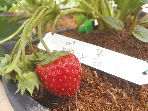 "Hopes For New ""Super"" Strawberry Development"