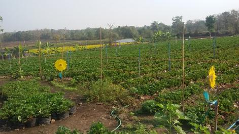 Strawberries Grown On Local Farm In Buriram