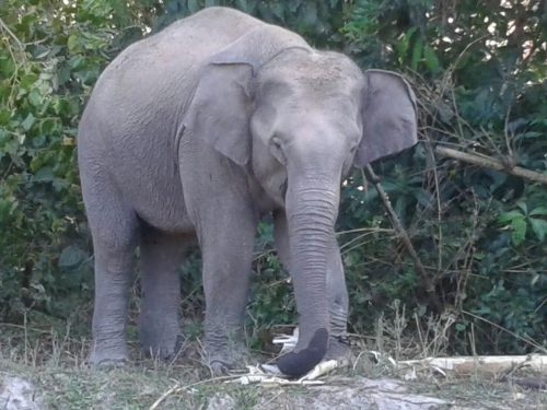 Domestic Elephants In Thailand Registered For DNA Checks