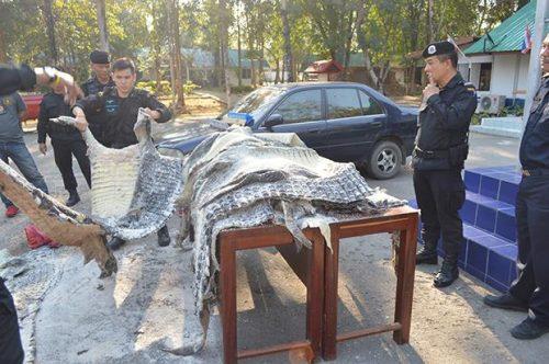 Buriram Man Arrested With Smuggled Crocodile Skins