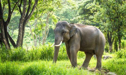 Wild Elephant Attacks And Kills Woman In Chonburi