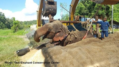 Wild Elephant Chompoo Dies Three Days After Being Pulled From Stream