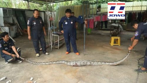 Python Reveals Its Last Meal After Capture !