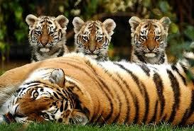 Wild Tiger Population In Thailand Increases