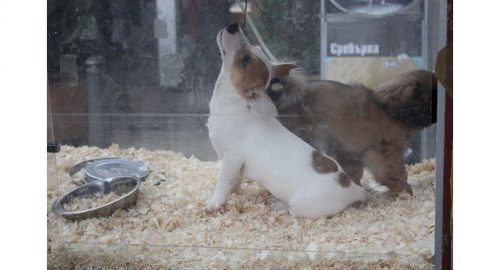 Deadly Link Between Thai Puppy Factories And Rabies